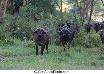 selvagem, africano, buffalos., kenya, áfrica