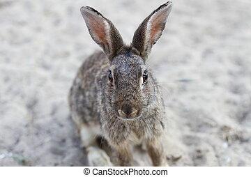 selvagem, coelho, com, orelhas longas, e, vivamente, olhos