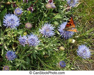 selvagem, cornflowers, borboleta, visitando