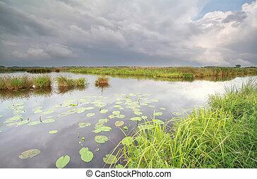 selvagem, lagoa, com, lírio água, flores