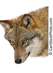 selvagem, lobo, em, um, forrest