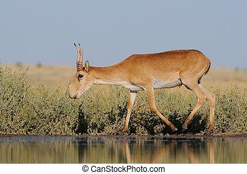 selvagem, macho, saiga, antílope, perto, aguando, em, steppe
