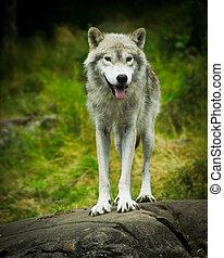 selvagem, oriental, cinzento, lobo madeira, em, natural,...