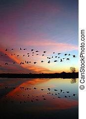 selvagem, pôr do sol, voando, gansos, vermelho