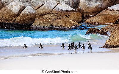 selvagem, Pingüins, SUL, africano