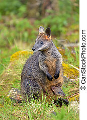 selvagem, rock-wallaby, mãe, e, joey