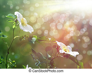 selvagem, rosa branca, flores