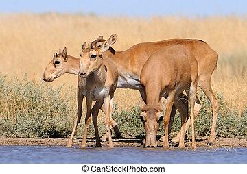 selvagem, saiga, antílopes, em, steppe, perto, aguando,...
