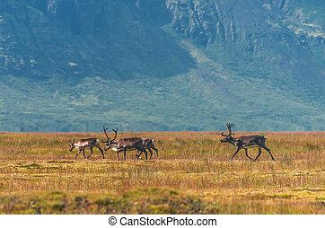 selvagem, tempo verão, renas, islândia