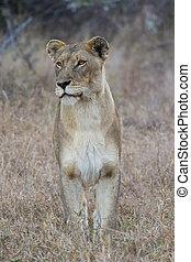 selvatico, 1, leonessa