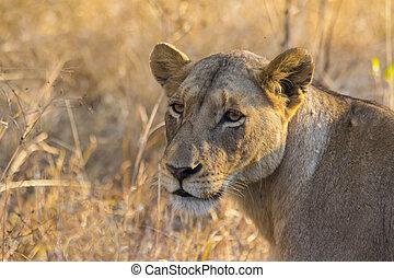 selvatico, 2, leonessa