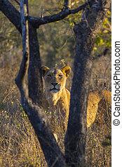 selvatico, 4, leonessa
