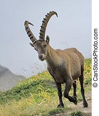 selvatico, alpino, ibex, -, steinbock, ritratto