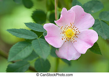 selvatico, fiore dentellare, rosa