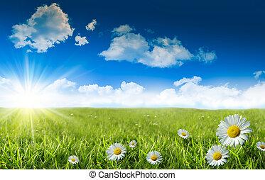 selvatico, margherite, in, il, erba, con, uno, cielo blu
