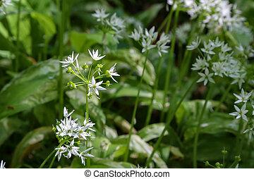 selvatico, primavera, aglio, foresta, fiori