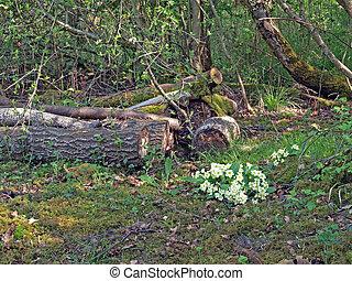 selvatico,  (primula,  vulgaris), terreno boscoso, primula
