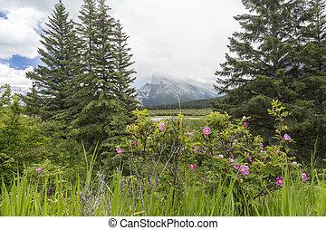 selvatico, rose, e, il, montagne rocciose, -, banff np, canada