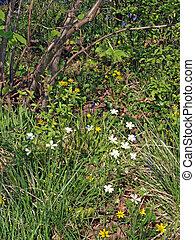 selvatico, windflower, o, legno, anemone., (anemone,...