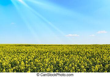 seme ravizzone, campo, in, primavera