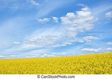 seme ravizzone, fioritura