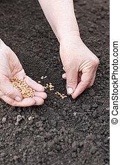 semear, trigo, mãos, em, a, earth.