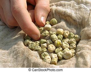 sementes, ervilhas, mão
