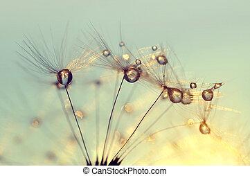 sementes, gotas orvalho, dandelion