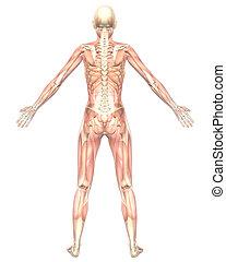 semi, muscolare, anatomia, femmina, trasparente, vista posteriore