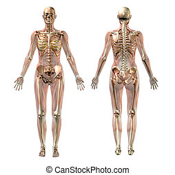 3D render of a female skeleton with semi-transparent muscles.