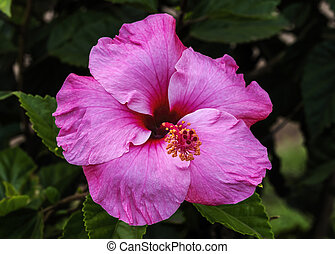 Seminole Pink Tropical Hibiscus Flowers Green Leaves Easter Island Chile.  Tropical hibiscus has many varieties.