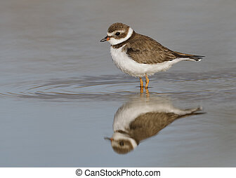 Semipalmated Plover wading in a shallow pond - Florida