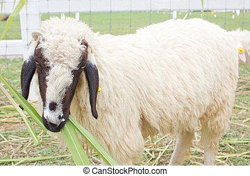semknout se, sheep.