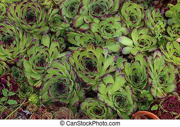 Sempervivum charadzeae, houseleeks or liveforever in spring garden
