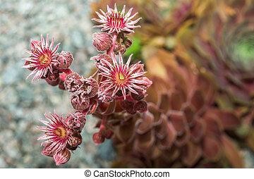 Sempervivum flower.