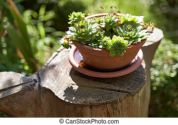 Sempervivum growing in a ceramic pot in the summer garden