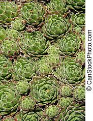 Sempervivum in a rockery garden