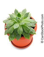 Sempervivum plant in a pot