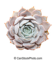 Sempervivum; - semprevivum isolated on white background