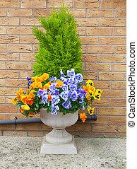 sempreverde, contenitore, inverno, primavera, viole pensiero, arbusto