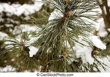 sempreverde, coperto, ramoscello, albero, neve