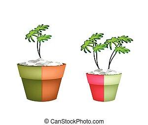 sempreverde, otri, ceramica, due, pianta