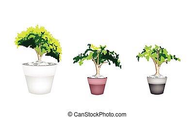 sempreverde, pianta, vaso, terracotta, tre