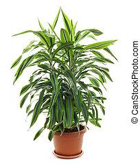 sempreverde, piante, perenne, -, chlorophytum, fioritura