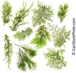 sempreverde, piante, set, rami, isolato