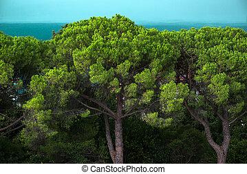 sempreverde, spiaggia, albero