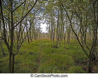 senda, páramo, entre, árboles, abedul