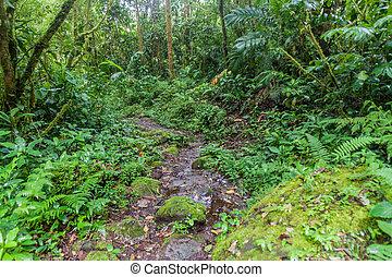 sendero de excursión, sendero, los, quetzales, en, parque...