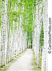 senderos, bosque, abedul