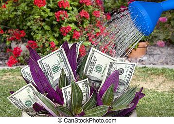 sendo, planta dinheiro, molhado